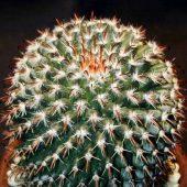 Mammillaria Uncinata