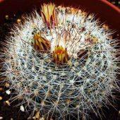 Mammillaria Wildii