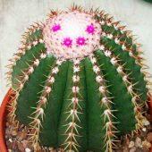 Melocactus Collineus
