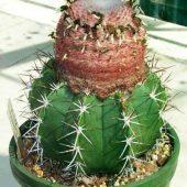 Melocactus Depressus