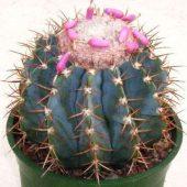 Melocactus Horstii