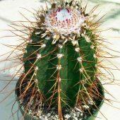 Melocactus Longispina