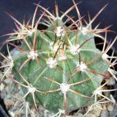 Melocactus Maxonii