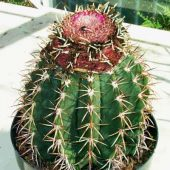 Melocactus Melocactoides