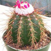Melocactus Morrochapensis