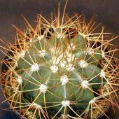 Melocactus Rubrispinus