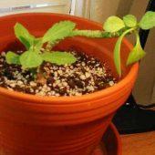 Monadenium Rizophorum v. Stoloniferum