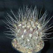 Neoporteria Cephalophora