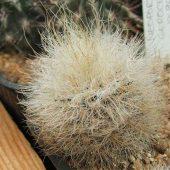 Neoporteria Gerocephala