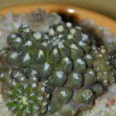 Neoporteria Napina Glareosa