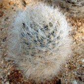 Neoporteria Senilis