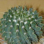 Notocactus Buiningii