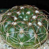 Notocactus Crassigibbus