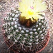 Notocactus Fuscus