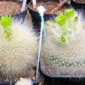 Notocactus Graessneri v. Albisetus