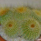 Notocactus Laetivirens