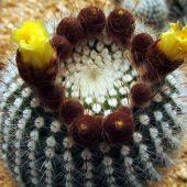 Notocactus Scopa