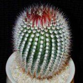 Notocactus Scopa Glauserianus
