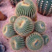 Notocactus Scopa v. Daenikerianus