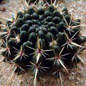 Notocactus Submammulosus v. Pampeanus