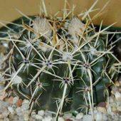 Notocactus Tureczekianus