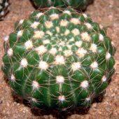 Notocactus Uebelmannianus