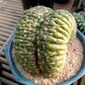 Notocactus Uebelmannianus Cristata