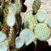 Opuntia Chlorotica
