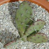 Opuntia Erinacea