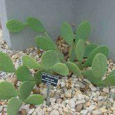 Opuntia Erinacea v. Utahensis