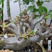 Pachypodium Rossulatum v. Horombense