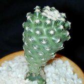 Pediocactus Despainii