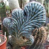 Pilocereus Bradeii Cristata