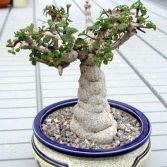 Plectranthus Ernstii