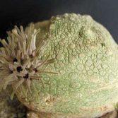 Pseudolithos Cubiformis