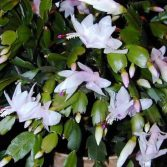 Schumbergera Truncata Blanc