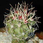 Sclerocactus Glaucus