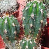 Stesonia Coryne