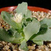 Stomatium Alboroseum Bolus