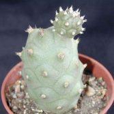 Tephrocactus Articulatus Inermis