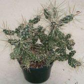 Tephrocactus
