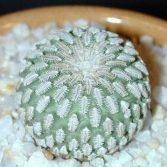 Turbinicarpus Pseudopectinatus dr Arroyo